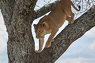 A lioness walks down a tree branch in the Serengeti National Park, Tanzania.