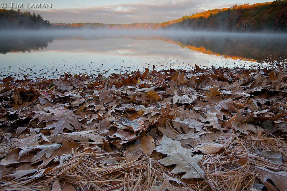 """Frosty Fall Sunrise"".A frosty fall sunrise at Walden Pond.  Frost coats the oak leaves and pine needles on the shoreline.  Autumn views at Walden Pond."