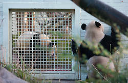 Yang Guang (right), the male panda, looks through the fence of his enclosure at towards Tian Tian as they make their first appearance in front of the media since arriving from China on December 12, 2011,  Edinburgh Zoo..Pic © Michael Schofield.