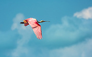 Roseate spoonbill adults fly out to catch shrimp and other inverts for their young that don't have the ability to fly longer distances yet.