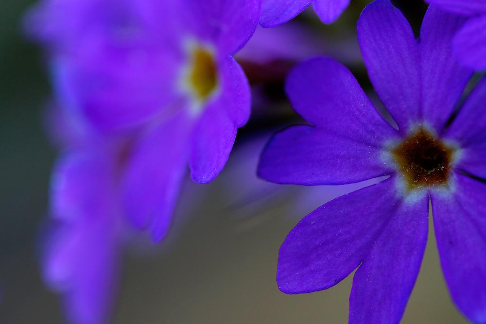 Russia, Caucasus, Plant, colour and form. Mount Cheget. Primula sp.