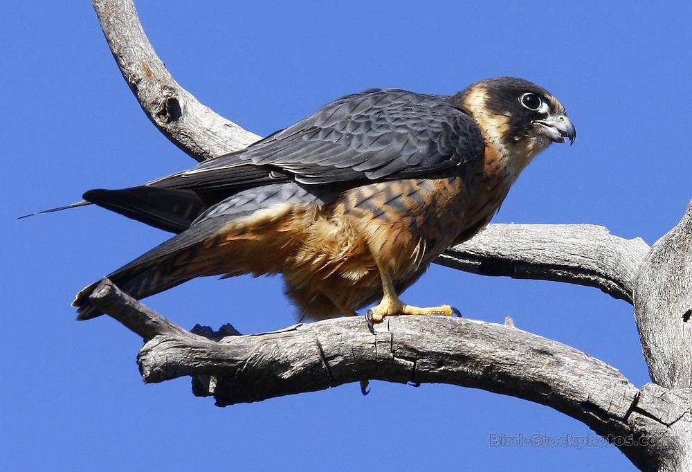 Australian Hobby, Falco longipennis, on branch, Australia, by Jonathan Rossouw