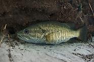Suwannee Bass, Underwater