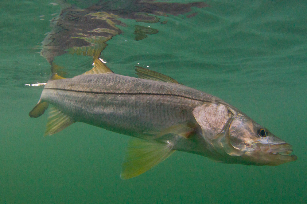 snook, clear water, line sider, centropamus unidceimalis