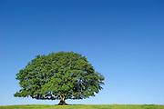 Obwohl es sich bei der Doppel-Stieleiche (Quercus robur) in Nauroth um zwei Bäume handelt, zeigt die gesamte Wuchsform die typischen Merkmale einer einzelnen, freistehend gewachsenen Eiche: der auffallend kurzen Stamm geht in eine Vielzahl starker Äste über, die insgesamt eine beeindruckend breite Krone bilden. Die Wiese rund um die Doppel-Eiche ist heute eine Rinderweide und so werden ihre tiefhängenden Zweige immer wieder von unten abgefressen.