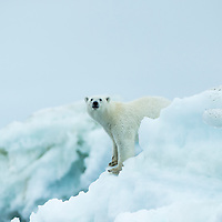 Canada, Nunavut Territory, Repulse Bay, Polar Bear (Ursus maritimus) standing amid melting sea ice near Harbour Islands