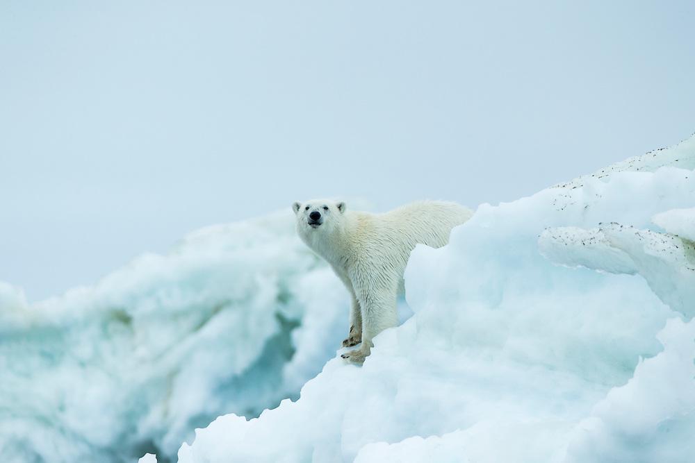 Canada, Nunavut Territory, Repulse Bay, Polar Bear (Ursus maritimus) standing amid melting sea ice near Harbour Islands
