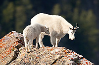 A Mountain Goat nanny and her kid stand atop a high cliff and watches as other goats climb towards them.