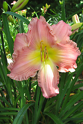 July 2009: pink lily bloom with yellow center