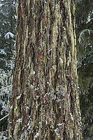 The lichen and moss covered trunk of a Douglas Fir tree in Winter in the central Cascades of Washington State, USA.