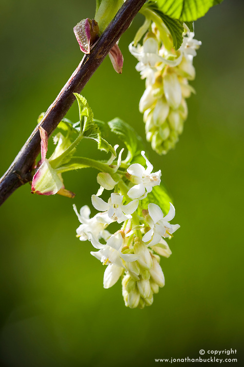 Ribes sanguineum 'White Icicle' AGM syn. 'Ubric' - Flowering currant
