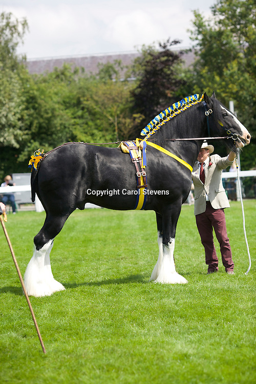 Mr Wm Bedford's black stallion  Martonian Norman<br />