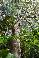 Monkey pod tree grows above other tropical vegetation in competition for sunlight, Oahu, Hawaii, © 2010 David A. Ponton