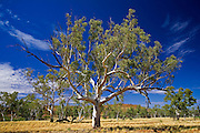 Eucalyptus tree, Queensland, Australia