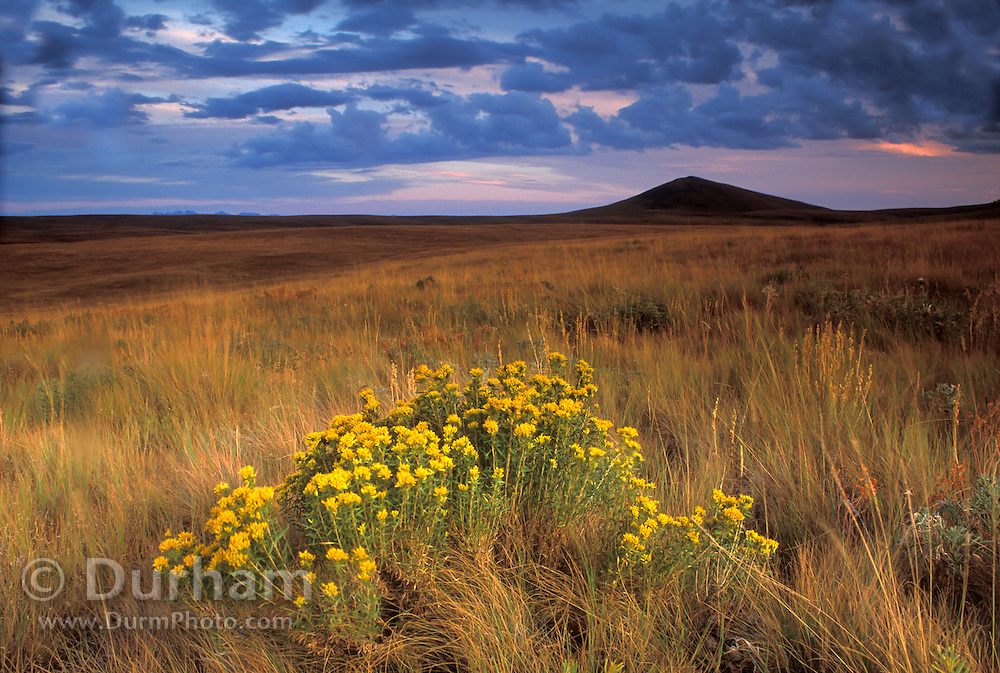 Dry grassalnd in habitat with rabbit brush flowers in late fall on The Nature Conservancy's Zumwalt Prairie Preserve. South Findley Butte is visible on the horizon.