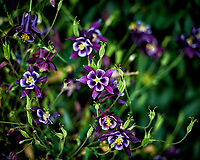 Purple columbine flowers in Patagonia. Image taken with a Nikon D3s camera and 50 mm f/1.4 lens (ISO 200, 50 mm, f/2, 1/2000 sec).