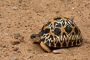 Radiated Tortoise (Astrochelys radiata)<br /> CAPTIVE<br /> HABITAT & RANGE: Native to Southern & Western Madagascar<br /> IUCN STATUS: CRITICALLY ENDANGERED