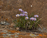 Purple, white, and yellow flowers (Daisy?). Rocky Mountain National Park. Image taken with a Nikon D2xs camera and 105 mm f/2.8 VR macro lens (ISO 100, 105 mm, f/4, 1/750 sec).