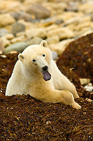 A Polar bear sitting on a bed of kelp (seaweed), Hudson Bay, near Churchill, Manitoba, Canada