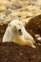 A Polar bear sitting on a bed of kelp (seaweed), Hudson Bay, near Churchill, Manitoba, Canada
