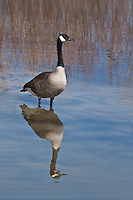 Canada Goose (Branta canadensis) The most widespread and commonly seen goose in North America.  Colorado.