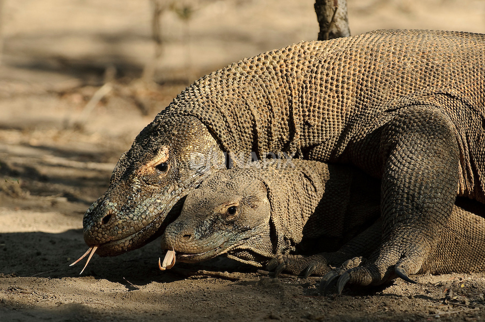 Komodo dragon foreplay. Male and female dragons lie entwined for days on end. The male awaits any movement from the female, which he uses an an opportunity to overpower her and acheive penetration.