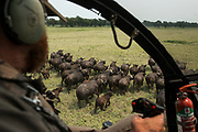Hughes 500 helicopter & Barney O'Hara<br /> to dart Buffalo (Syncerus caffer)<br /> Gorongosa National Park<br /> Mozambique, Africa<br /> Buffalo to be darted from helicopter for blood and Probang (throat scrape) samples to test for foot-and-mouth disease to prepare localized vaccines for regionally different foot-and-mouth strains.<br /> Hughes 500 helicopter & Barney O'Hara<br /> to dart Buffalo (Syncerus caffer)<br /> Gorongosa National Park<br /> Mozambique, Africa<br /> Buffalo to be darted from helicopter for blood and Probang (throat scrape) samples to test for foot-and-mouth disease to prepare localized vaccines for regionally different foot-and-mouth strains.
