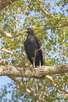Great Black Hawk (Buteogallus urubitinga),  The Pantanal, Mato Grosso, Brazil