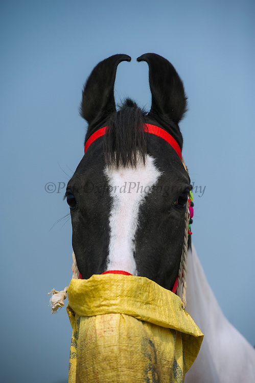 Marwari horse breed<br /> From Jodhpur region<br /> Uttar Pradesh, India<br /> En-route to Pushkar camel and horse festival