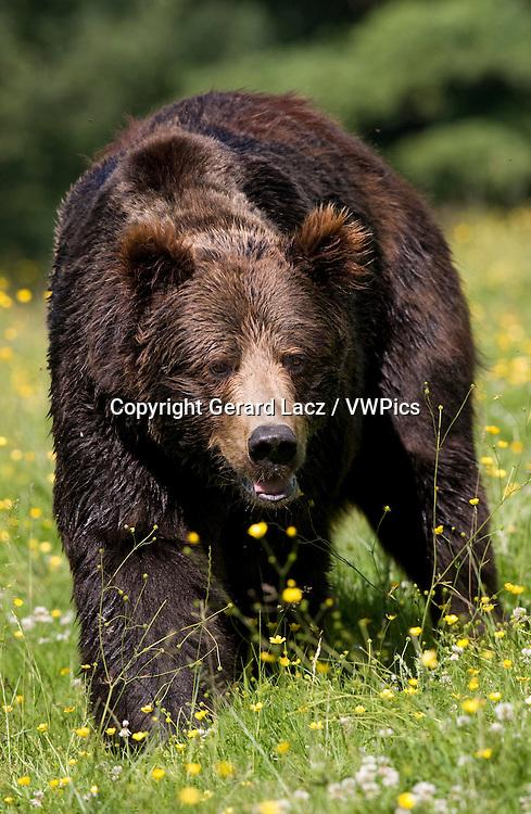 Brown Bear, ursus arctos, Adult with Flowers