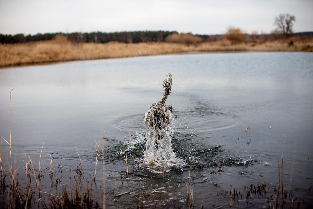 """English Setter """"Rudy"""" springt am 22.03. 2018 kopfüber in den Teich von Stara Lysa, (Tschechische Republik).  Rudy wurde Anfang Januar 2017 geboren und ist vor einiger Zeit zu seiner neuen Familie umgezogen."""
