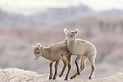 Little Bighorns playing on a cliffside at The Badlands National Park in South Dakota