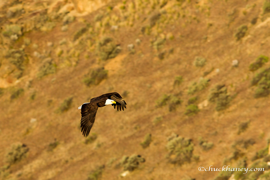 Mature bald eagle flies at Smith Rock State Park near Terrebonne, Oregon, USA