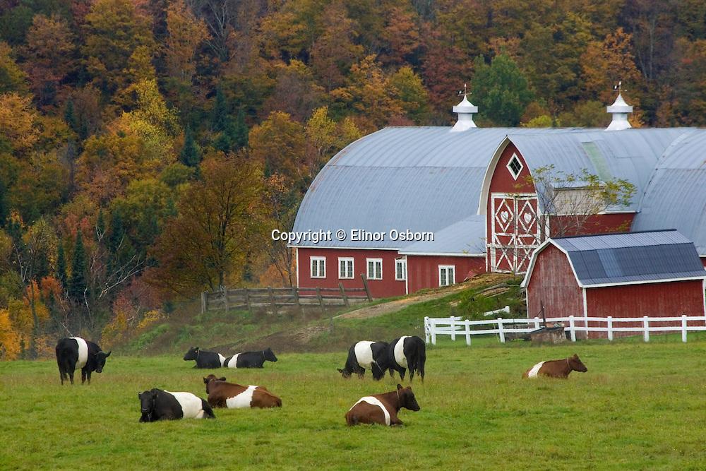 White-belteds, Diamond Heart Farm