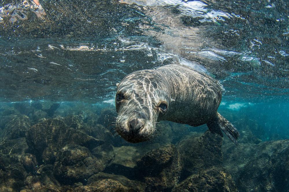 Galapagos Sealion (Zalophus wollebaeki)<br /> North Seymour Island<br /> GALAPAGOS ISLANDS<br /> Pacific Ocean<br /> ECUADOR.  South America