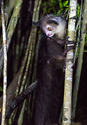 Aye-Aye (Daubentonia madagascariensis) in its natural habitat in Madagascar.