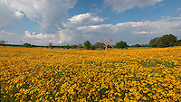 Coreopsis field , Columbus , Texas.