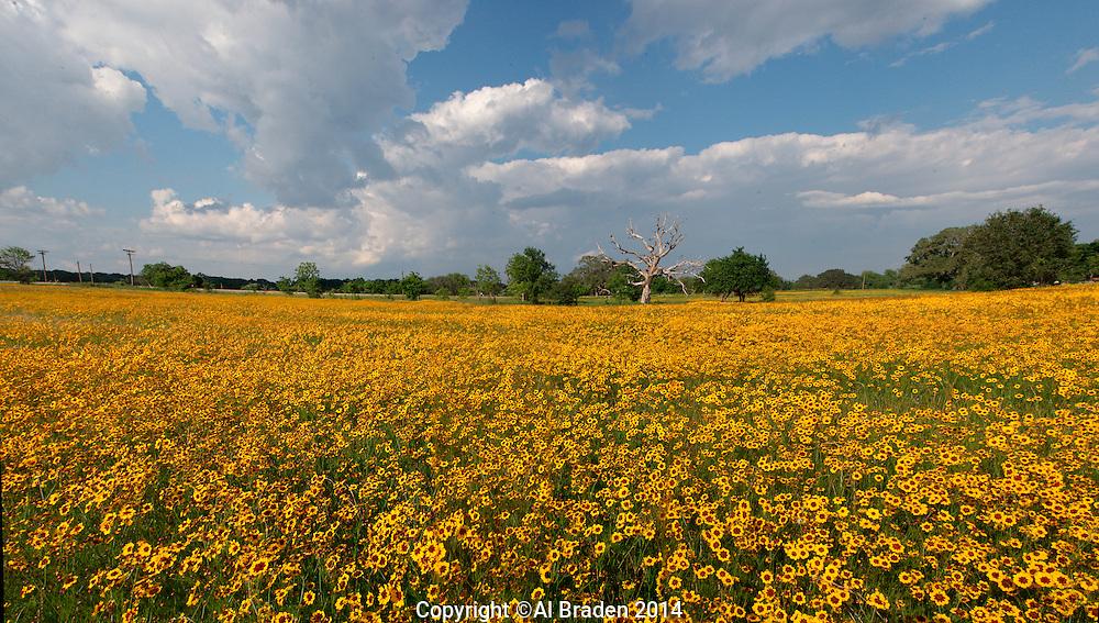 Coreopsis field , Columbus , Texas.