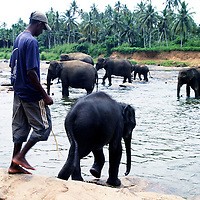 "PINNAWELA, OCTOBER-3 : a mahout gently pushes a baby elephant back into the Ma Oya river  in Pinnawala, October 3, 2005, Sri Lanka. The 35 mahouts of the Pinnawala orphanage are in charge of 75 elephants which is a heavy task. it takes about 6 months training to learn the ""elephant language"" and years of expirience too become a good elephant keeper. Mahouts are well paid and therefore there's no shortage of applicants .PINNAWELA, OCTOBER-3 : an elephant greets a visitor   in Pinnawela, October 3, 2005, Sri Lanka.   .The Pinnawela orphanage was started in 1975 and initially designed to afford care and protection to the many baby elephants found in the jungle without their mothers. In most cases the mother either had died or been killed. .Animals are allowed to roam freely duringthe day and a herd structure allows to form. there are only a few elephant orphanges worldwide. At Pinnawela an attempt was made to simulate, in a limited way, the conditions in the wild. Currently the herd consists of 75 elephants under the surveillance of legendary  Mahout chief Sumanabanda."