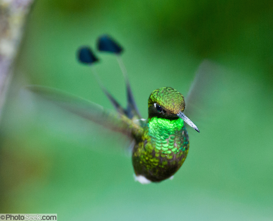 "The Booted Racket-tail (or Racquet-tail; or Racquet-tailed Hummingbird; Latin name Ocreatus underwoodii) in Bellavista Cloud Forest Reserve, in the ""Mindo Area of International Importance for Birds,"" Tandayapa Valley, near Quito, Ecuador, South America. Published in ""Light Travel: Photography on the Go"" book by Tom Dempsey 2009, 2010."