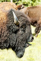 Bison bull sniffing the air, Vermejo Park Ranch, New Mexico, USA.