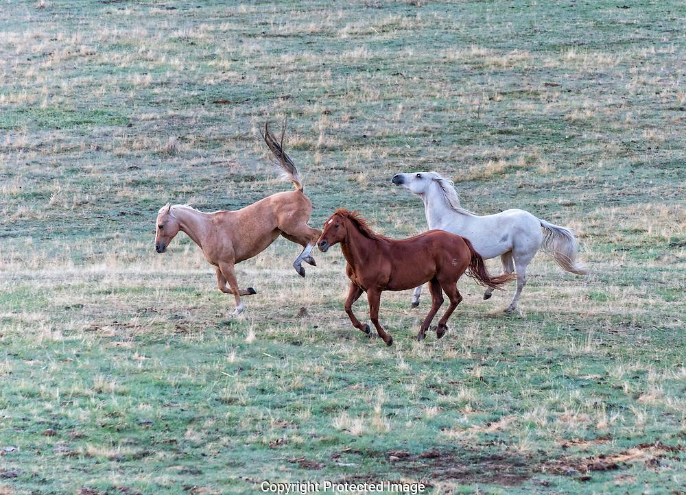 Horse Creek Ranch mares.., Washington, America, Isobel Springett