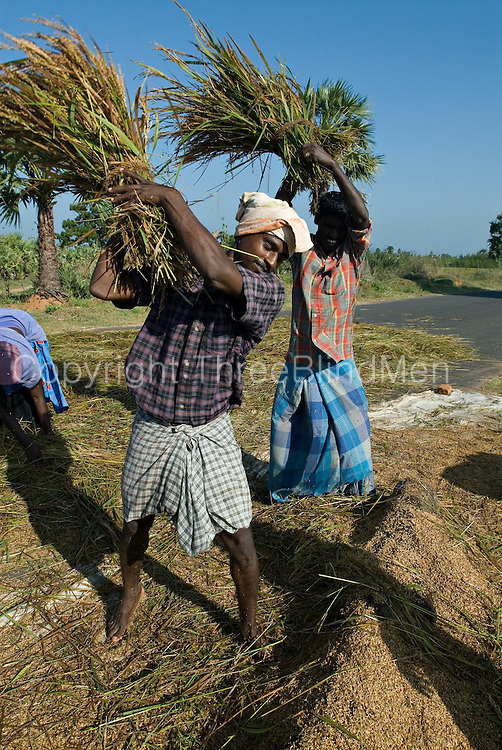 Farmers Threshing rice stalks by side of the road. South India. Tamil Nadu state.