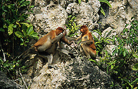 A female proboscis monkey, Nasalis larvatus, gets help with infant care from another female..Lower Kinabatangan Wildlife Sanctuary, Borneo Island.