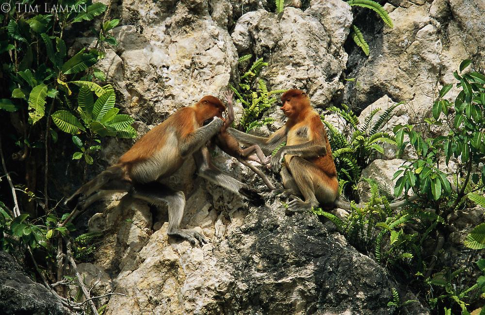 A female proboscis monkey, Nasalis larvatus, gets help with infant care from another female..Lower Kinabatangan Wildlife Sanctuary, Borneo Island.