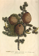 Coloured Copperplate engraving of a cedar (Cedrus) tree from hortus nitidissimus by Christoph Jakob Trew (Nuremberg 1750-1792)