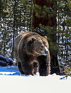 Close-up of Grizzly bear walking in snow.