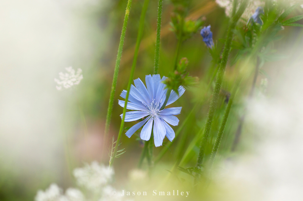Chicory flower in wild garden