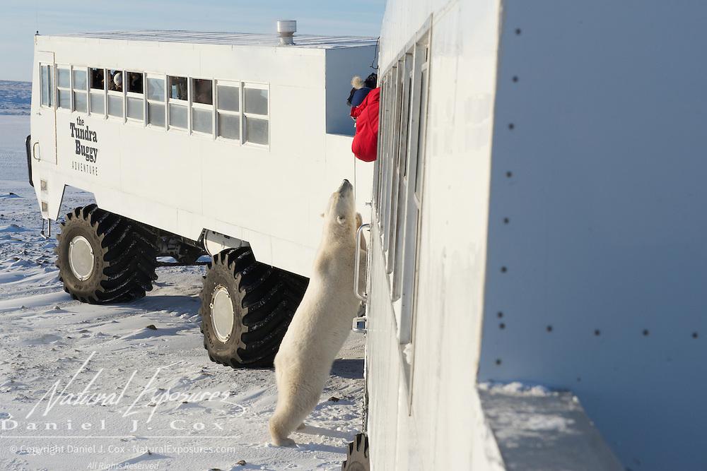A polar bear plays with the tourists on a Tundra Buggy. Cape Churchill, Hudson Bay, Manitoba.