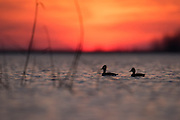 Ring-necked Duck, Aythya collaris , male & female, Saginaw Bay, Michigan